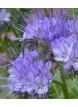 Svazenka vratičolistá (Phacelia tanacetifolia)